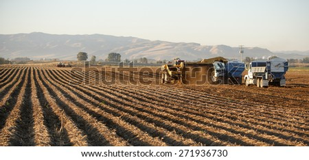 Fort Hall, Idaho, USA Sep 28, 2009- Farmers use machinery to harvest potatoes.  The potatoes are dug by a wind rower, and gently placed on top of undug rows, waiting for the harvester to pick them up. - stock photo