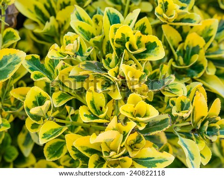 Fortune's spindle (Euonymus fortunei) is a species of flowering plant in the family Celastraceae, native to east Asia, including China, Korea, the Philippines and Japan. - stock photo
