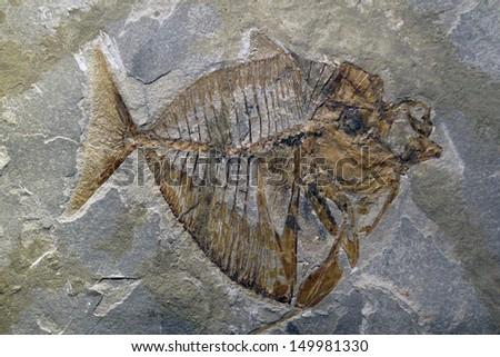fossil  bolca italy          - stock photo