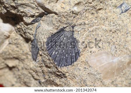 fossil of bivalve in Japan - stock photo