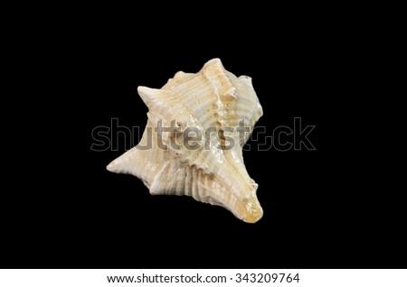 Fossil Shell, Mollusca Gastropoda Neogene period - stock photo