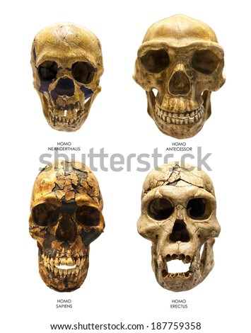 Fossil skull of Homo Erectus, Homo Sapiens, Homo Neanderthalis and Homo Antecessor. Last one is the earliest known human species in Europe. - stock photo