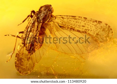 Fossilized baltic amber with midge insect inside - stock photo