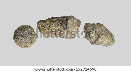 fossilized coral and sea lily - stock photo