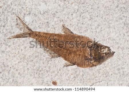 Fossilized Fish, Dyplomystus - stock photo