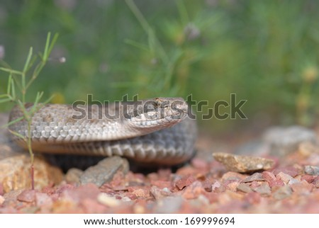 Found in the high elevations of southern Arizona's sky islands is this interesting rattlesnake. - stock photo