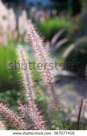 Fountain grass in vintage garden - stock photo