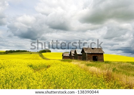 Four abandoned wood granaries in a canola field - stock photo
