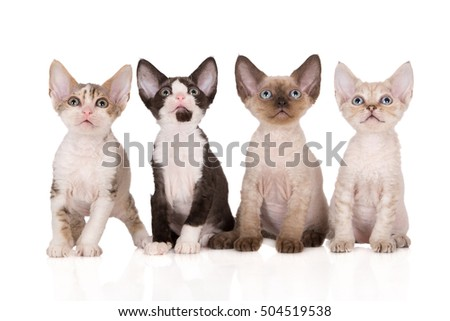 four adorable devon rex kittens posing together on white