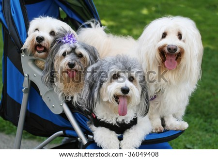 four adorable havanese dogs in stroller - stock photo