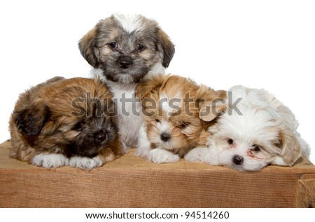 Four adorable puppy in sitting or laying on a wood plank isolated on a white background