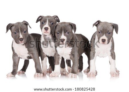 four adorable staffordshire terrier puppies