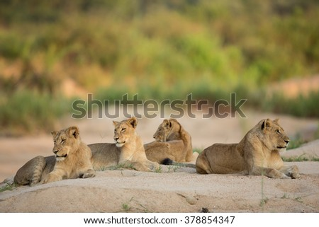 Four African Lionesses lying down in river bed in the Kruger Park South Africa