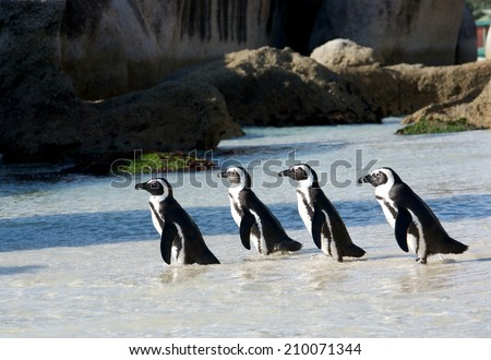 Four African penguins - stock photo