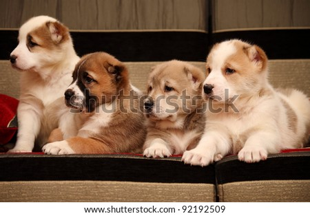 Four Alabay puppy sitting on the sofa and watch the side