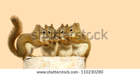 Four baby squirrels on a birch log sharing some sunflower seeds, with copy space. Part of a  series. - stock photo
