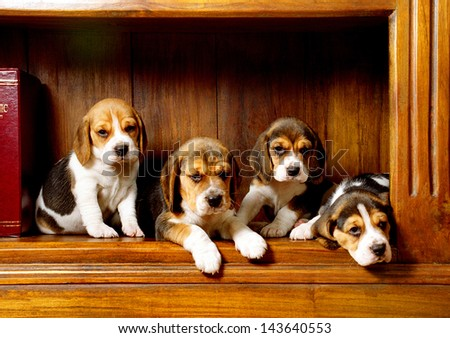 Four beagle dog puppies pose on classic background