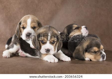 four beagle pup on a brown background - stock photo