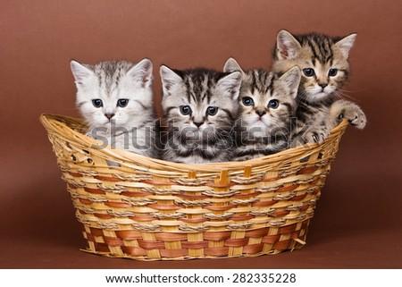 Four British striped kitten in a basket - stock photo