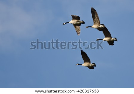 Four Canada Geese Flying in a Blue Sky - stock photo