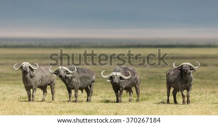 Four Cape Buffalo Bulls in the Ngorongoro Crater, Tanzania