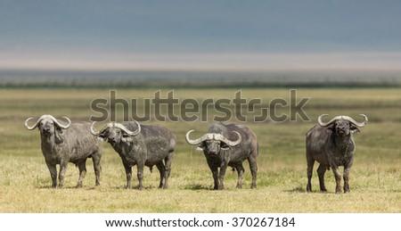 Four Cape Buffalo Bulls in the Ngorongoro Crater, Tanzania - stock photo