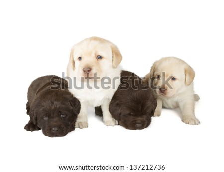 Four Chocolate and Yellow Labrador Retriever Puppies (4 week old, isolated on white background)