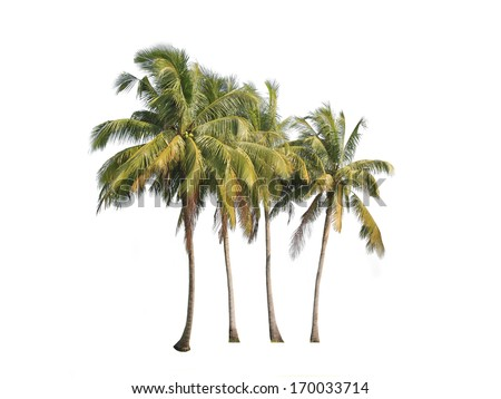Four coconut palm trees isolated on white background.