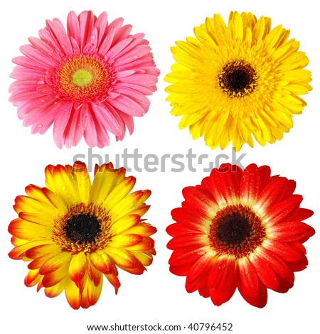 Four colorful gerber flowers isolated in white background