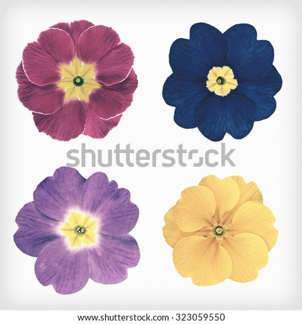 Four Colorful Primrose Flowers Isolated on White Background. Flowers are in a shabby sheek vintage and retro style. - stock photo
