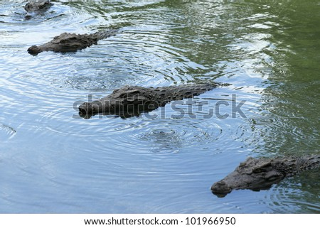 Four crocodiles in the water - stock photo