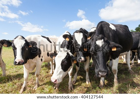 Four curious black and white Holstein dairy cows peering  closely at the camera in a sunny pasture bending closer for a better view - stock photo