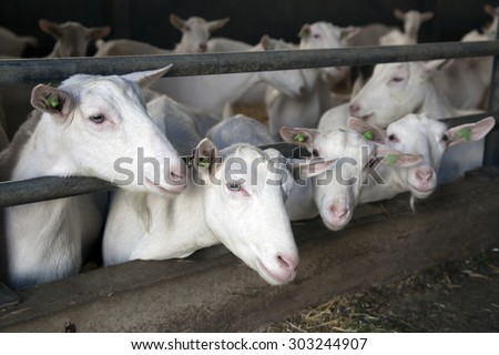 four curious white goats stick their heads through bars of stable