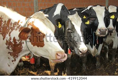 Four cute cows in the cowshed