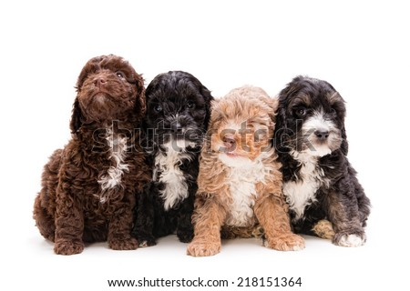 Four cute Poodle Spaniel cross puppies - stock photo