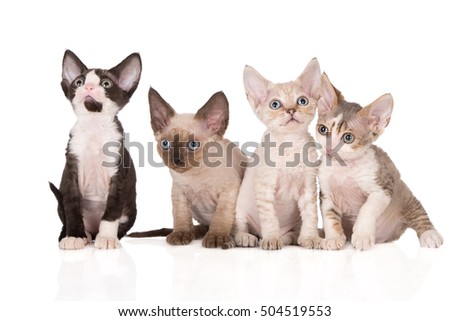 four devon rex kittens sitting together on white