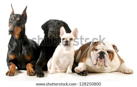 four different breeds of dogs laying together isolated on white background - stock photo