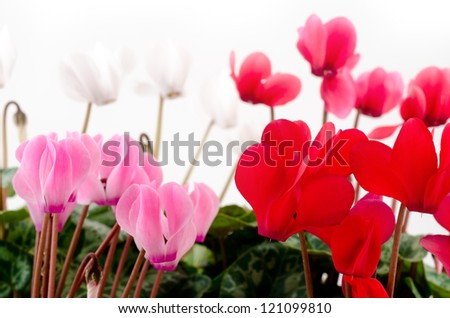 Four different colors cyclamen flowers in front of white - stock photo