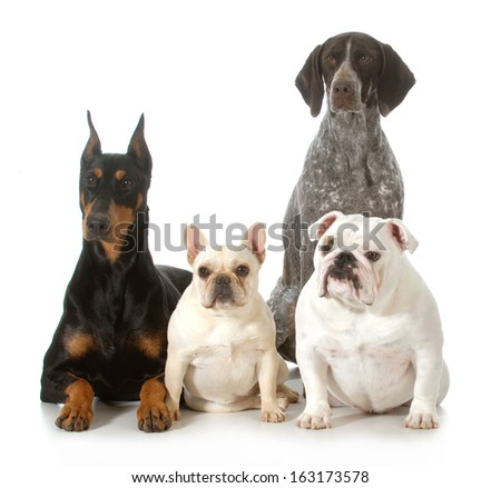 four different purebred dogs looking at viewer isolated on white background - doberman pinscher, french bulldog, german shorthaired pointer, english bulldog - stock photo