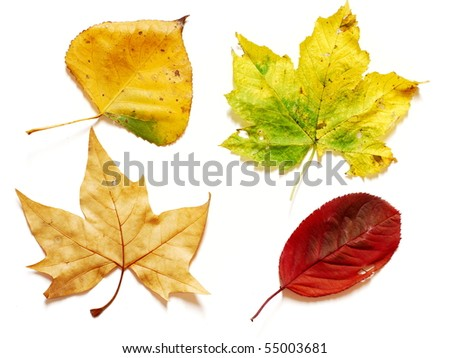 Four different shapes and colors in autumn leaves photographed on white background - stock photo