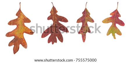 Four different sized autumn oak leaves on a white background. The leaves are in various states of change. Brown, orange, burgundy and yellow are the prominent colors