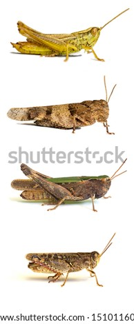 Four different types of grasshoppers isolated on white background - stock photo