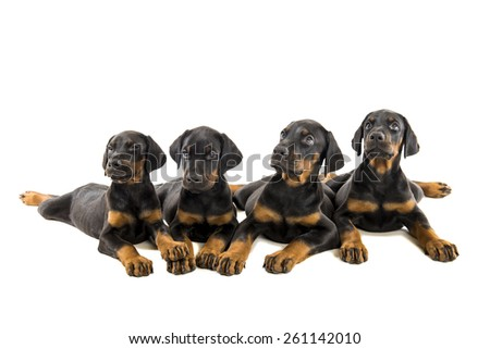 Four doberman pinscher puppies isolated on white background - stock photo
