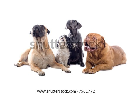 four dogs isolated on a white background