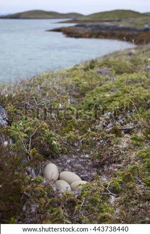 Four eggs in common eider (Somateria mollissima) nest lined with eiderdown. Photographed at Norwegian coast.  - stock photo