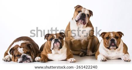 four english bulldogs together on white background - stock photo