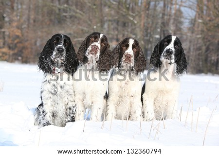 Four English Springer Spaniels in winter - stock photo