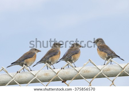 Four Female Easter Bluebirds (sialia sialis) on a chain link fence with blue sky background. One bird facing the other three. Copy space above. Horizontal format - stock photo