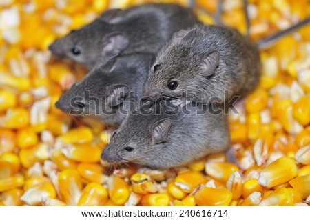 Four field mice eating corn grain on the farm.  - stock photo