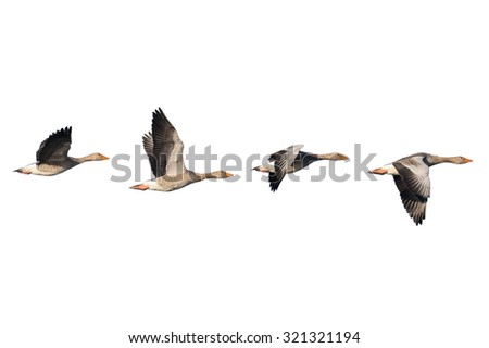 Four flying greylag geese isolated on white - stock photo